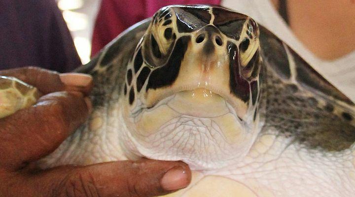 kosgoda-Turtle