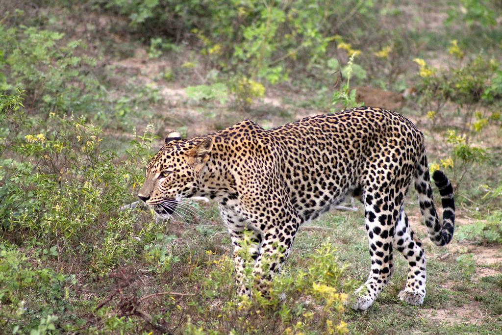leopard Sri Lanka photo
