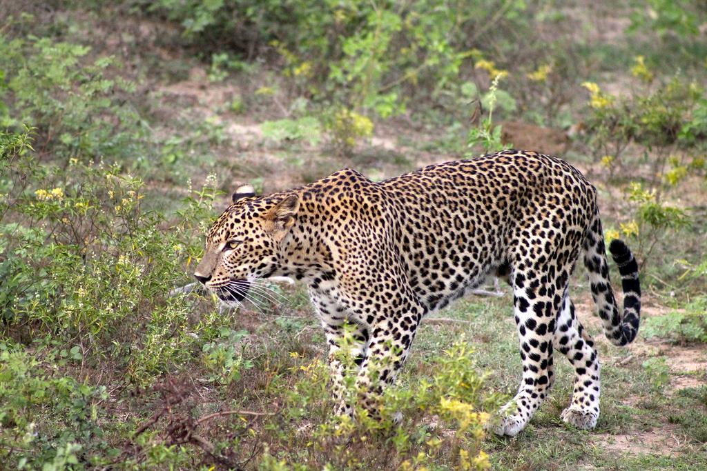 leopard Sri Lanka photo