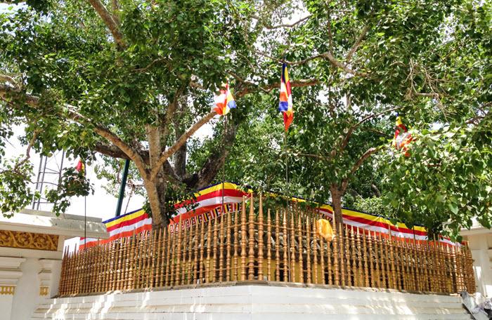 bodhi-tree-anuradhapura - buddhism historical places in Sri Lanka