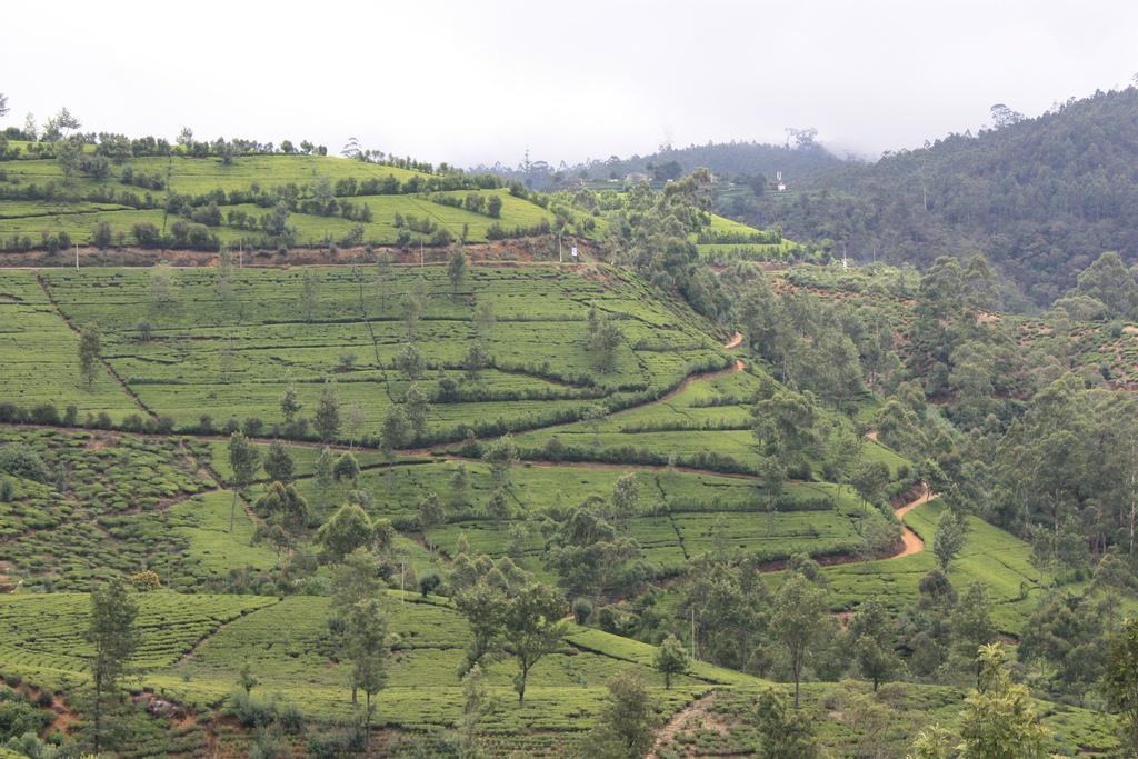 Nuwara Eliya Tea garden photo