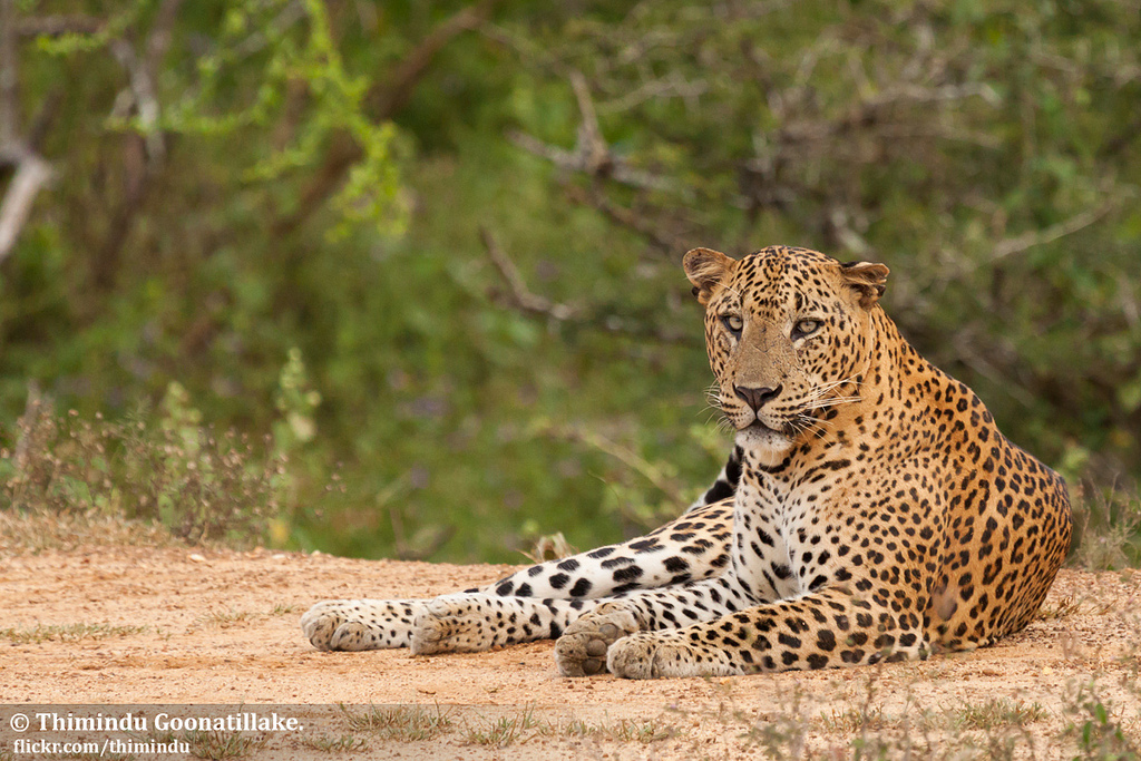 Yala Leopard photo